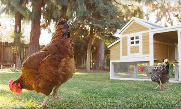 5 Reasons To Consider Keeping A Backyard Chicken Flock